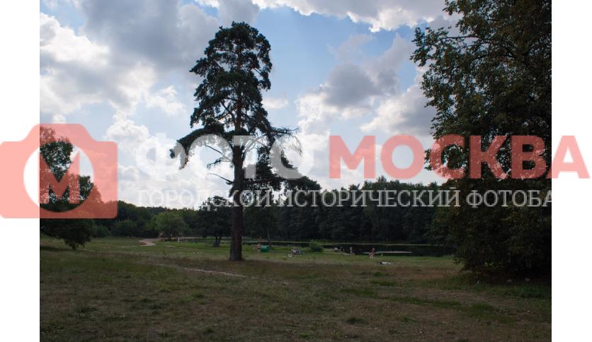 Кедровая сосна в Кузьминках